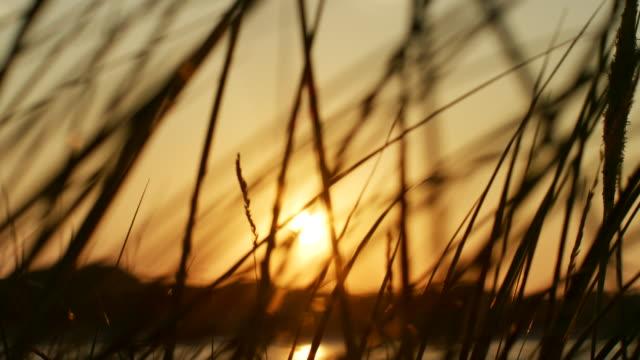 silhouette der dünengebieten grass gegen goldenen sonnenuntergang schimmernd - schilf stock-videos und b-roll-filmmaterial