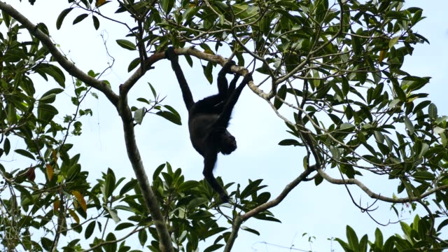 Silhouette of monkey hanging upside down and chewing on snack