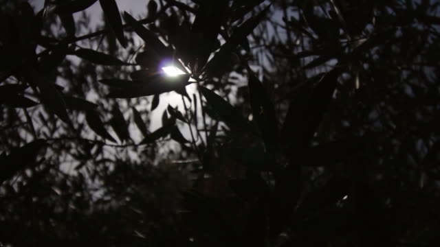 Silhouette of olive leaves video