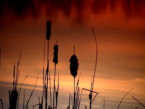 vídeos y material grabado en eventos de stock de silueta de reed pal (vídeo - descripción física