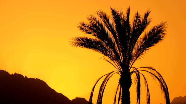 Silhouette of Tropical Palm Tree at Sunset in Slow Motion