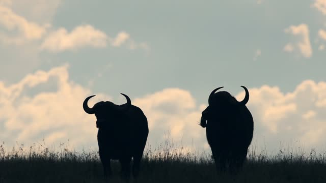 Silhouette Of Two Wild Buffalo's Standing On The Grass Field In Kenya, Africa - Wide Shot