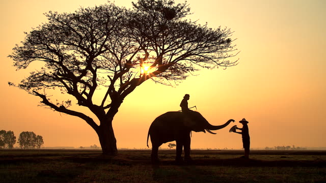 Silhouette scene of elephant and mahout showing his performance by sending hat to traveler on the mist sunrise. video