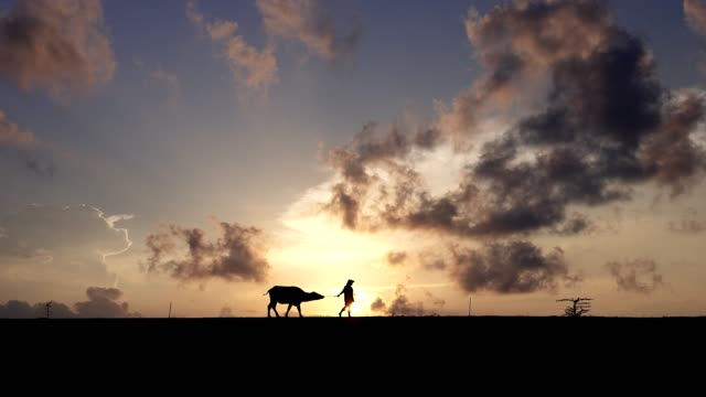 scena silhouette di agricoltori che camminano davanti ai loro bufali in campagna al mattino. - animale femmina video stock e b–roll