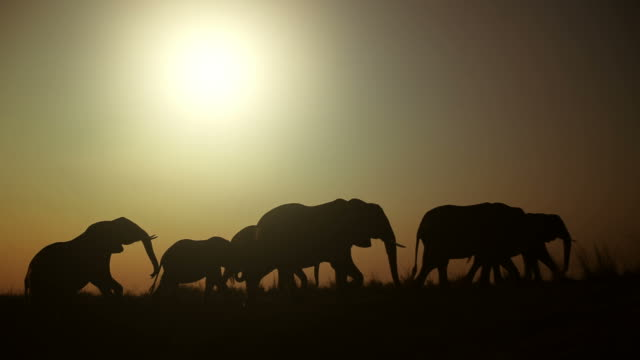 Silhouetted elephant herd walking.