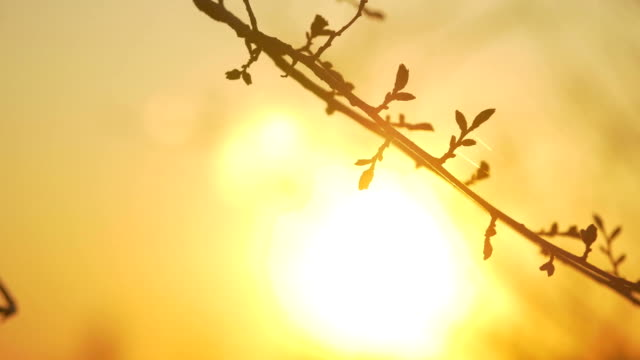 Silhouettes of branches of a tree in the dawn sun Sunrise nature. Trees silhouettes against Sunrise background. tree silhouettes in morning mood. silhouettes of winter bare lifestyle branches - vídeo
