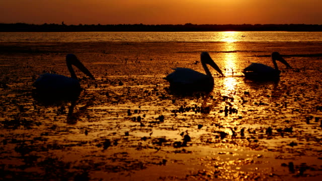 Silhouettes of great white pelicans at sunrise in Danube Delta Silhouettes of great white pelicans at sunrise in Danube Delta pelican stock videos & royalty-free footage