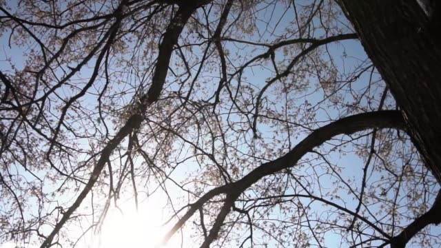 Silhouettes of leafless tree with buds on a dark blue sky background. Footage. Trees without leaves stock footage
