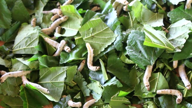 silkworms eating mulberry on rattan basket video