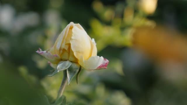 絹のような格子白ローズ花蕾庭浅い dof 4 k 2160p 30fps ultrahd ビデオ-フィールドの浅い深さホワイトローズつぼみ自然背景 4k 3840x2160 uhd 映像 - イヌバラ点の映像素材/bロール