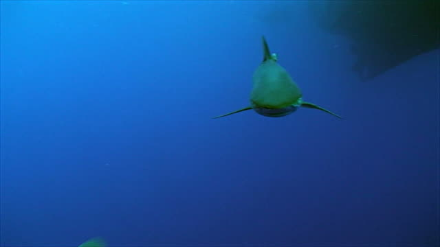 silky shark approaches closely video