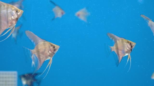 balık tankında gümüş melek balığı - i̇htiyoloji stok videoları ve detay görüntü çekimi