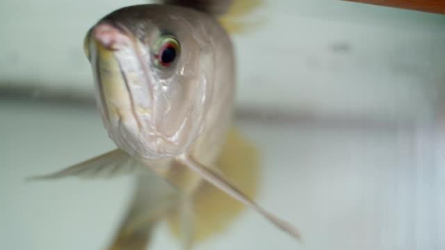 stockvideo's en b-roll-footage met zilveren arowana zwemmen in aquarium - eén dier