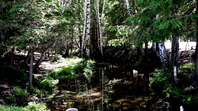silver birch forest and stream video