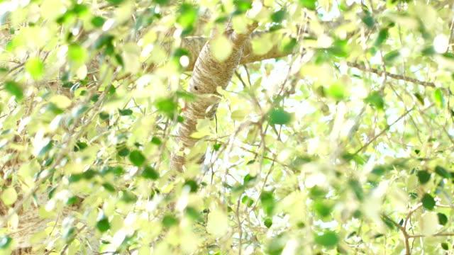 Silver birch or warty birch 4K video