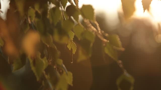 Silver birch tree video