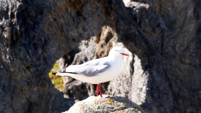 silver gull a silver gull stands on a rock scavenging stock videos & royalty-free footage