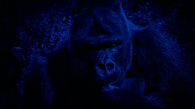 stockvideo's en b-roll-footage met zilverrug gorilla eten planten 's nachts - gorilla