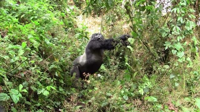stockvideo's en b-roll-footage met zilverrug gorilla stretching in het bos - gorilla