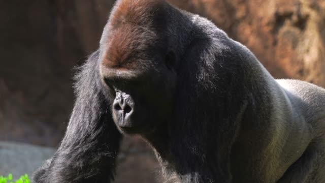 シルバー バック ゴリラ歩くと鼻をフレア - 動物園点の映像素材/bロール