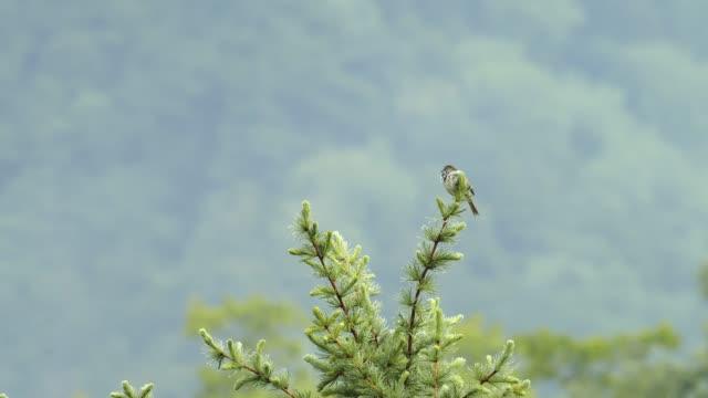 日本のブッシュ・ウォーブラーを歌う ビデオ