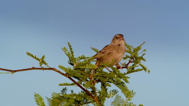 Singing Botteri's Sparrow, Sonoita Grasslands, Southeastern Arizona