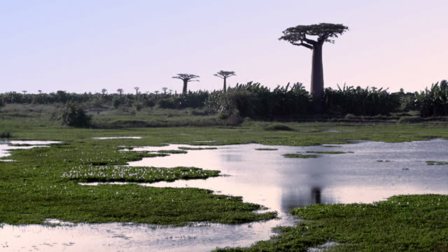 enda baobab träd växer på träsket. allé av baobabs i madagaskar - madagaskar bildbanksvideor och videomaterial från bakom kulisserna