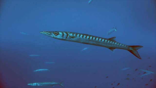 single barracuda, mediterranean sea video