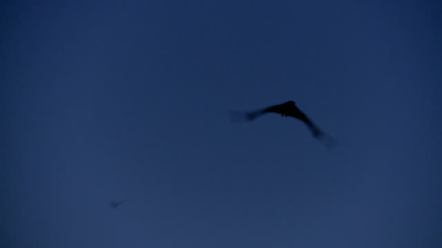 singolo tracciato inquadrature, pipistrello volpe volante - un singolo oggetto video stock e b–roll