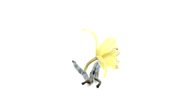 vidéos et rushes de une seule fleur avec gousses de vanille se glisse - vanille