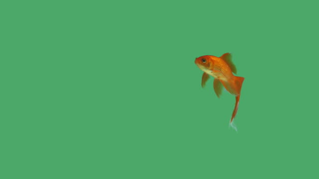 Single goldfish on green screen A single goldfish with a beautiful tail swimming from side to side on green screen. fish stock videos & royalty-free footage