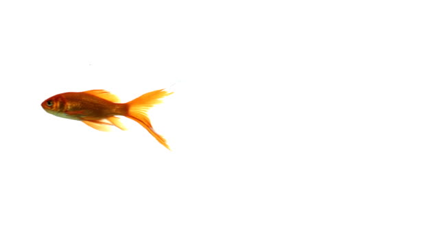 Single goldfish on white background with a beautiful tail video