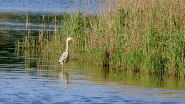 Single Grey Heron bird hunting on pond water surface