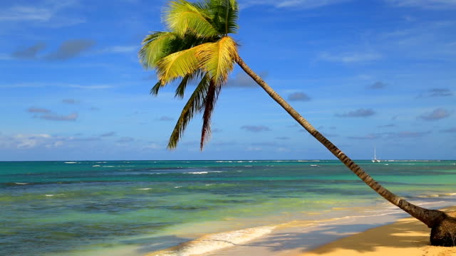 Single leaning palm tree on the beach in Dominican Republic Single leaning palm tree on the beach in Dominican Republic leaning stock videos & royalty-free footage