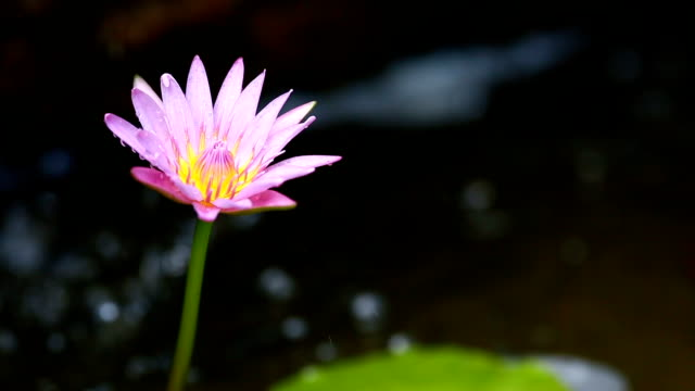 Single lotus purple with water drop background