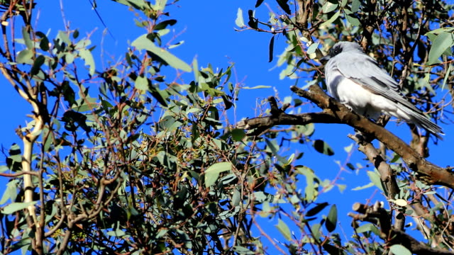 single masked woodswallow, artamus personatus, im baum - endemisch stock-videos und b-roll-filmmaterial