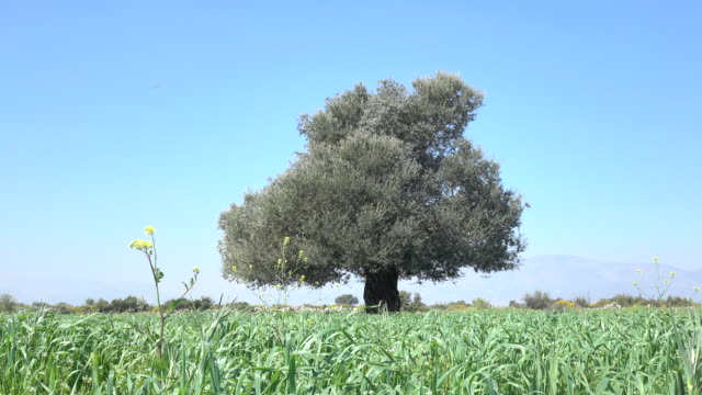 Single Olive Tree With Green Leaves In Field On Sky video