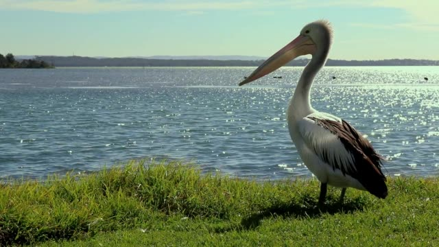 Single pelican slowly leaves scene to the right. Single Pelican stands for a short time before turning to its right and departing the frame pelican stock videos & royalty-free footage
