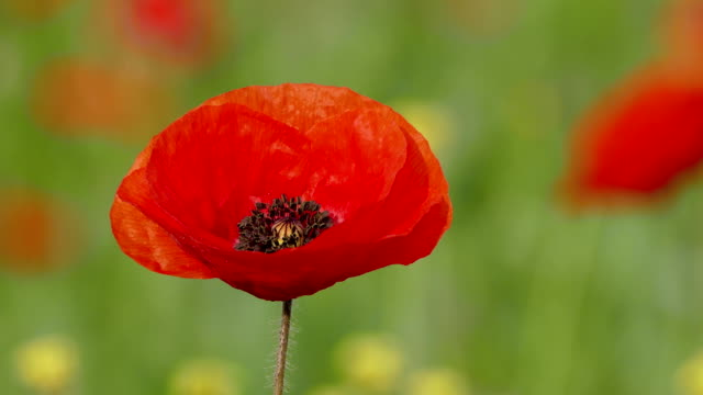 Single Poppy Swaying With Wind video