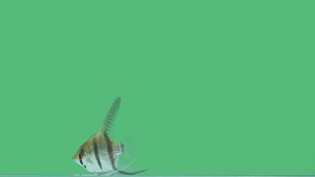 single pterophyllum on green screen - iktyologi bildbanksvideor och videomaterial från bakom kulisserna