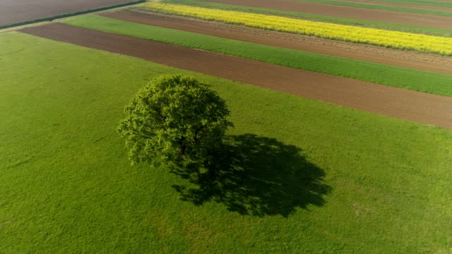 ws single tree in sunny,rural green field,prekmurje,slovenia - tilt down stock videos & royalty-free footage