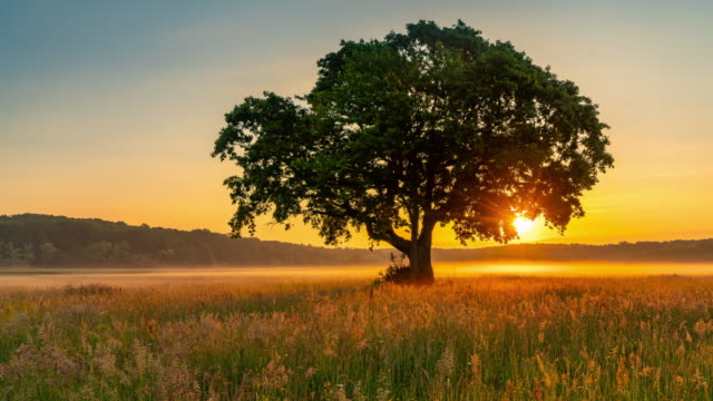 T/L Single tree in the meadow at sunrise