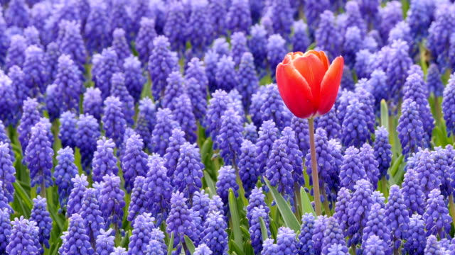 Single tulip on a purple flower field. Lonely red tulip in a purple flower field. individuality stock videos & royalty-free footage