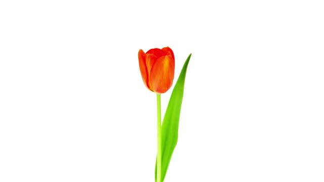 Single Tulip; TIME LAPSE