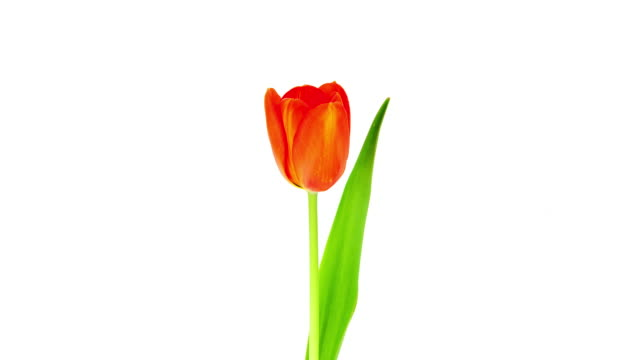 Single Tulip; TIME LAPSE HD TIME LAPSE MOVIE of blooming tulip in front of white background. (Also available in 4K Resolution) tulip stock videos & royalty-free footage