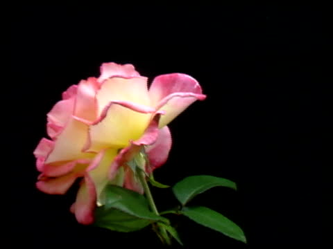 Single yellow rose disappears from the screen Camera dollies left Close-up of Pink & Yellow Rose.  Rose disappears leaving only black background as camera dollies to the left. flowering plant stock videos & royalty-free footage
