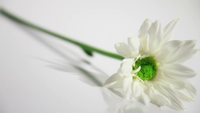 Singular Chrysanthemum