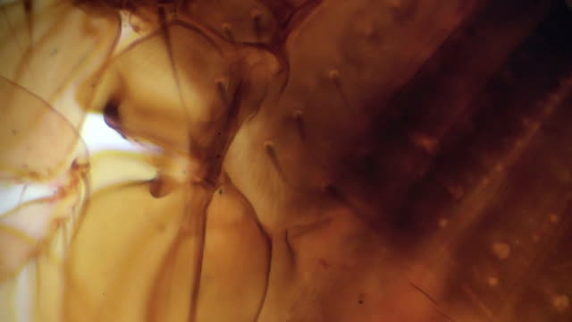 Siphonaptera flea under light microscopy Siphonaptera flea under light microscopy flea insect stock videos & royalty-free footage