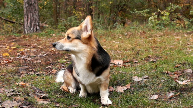 Sit, lie down, stand up. Dog breed Welsh Corgi Pembroke on a walk in a beautiful autumn forest. video