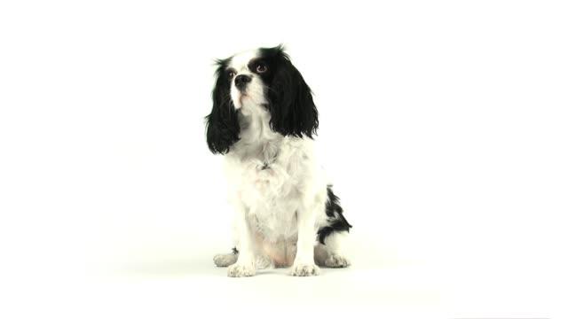 Sitting Dog Sitting Dog panting stock videos & royalty-free footage
